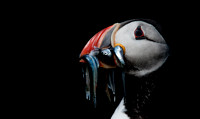 Puffin carrying fish - Against a Dark Background - Landscape