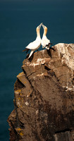A pair of Gannets bonding. Bass Rock 2011