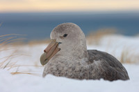 Southern Giant Petrel in the snow