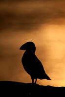 Puffin sunset