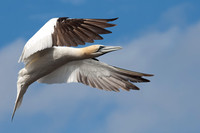 Adult Gannet coming in to Land