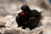 Male Ascension Frigatebird on it's nest (landscape)