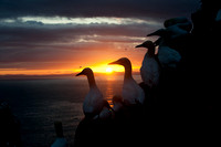 Gannets against sunset
