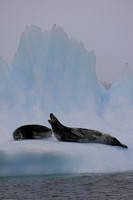 Leopard seals on iceberg